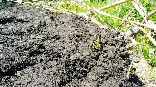 Hugelkultur - Butterflies enjoying the wildflower beds