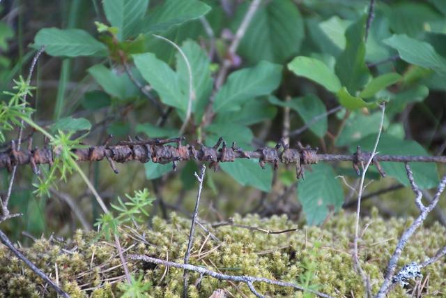 Okkaline metsaalune / Spiky underwood
