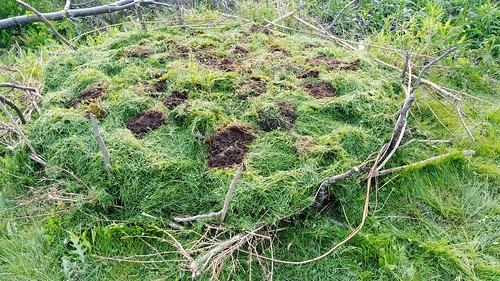 Hugelkultur - some flipped sod to hold the grass clippings down