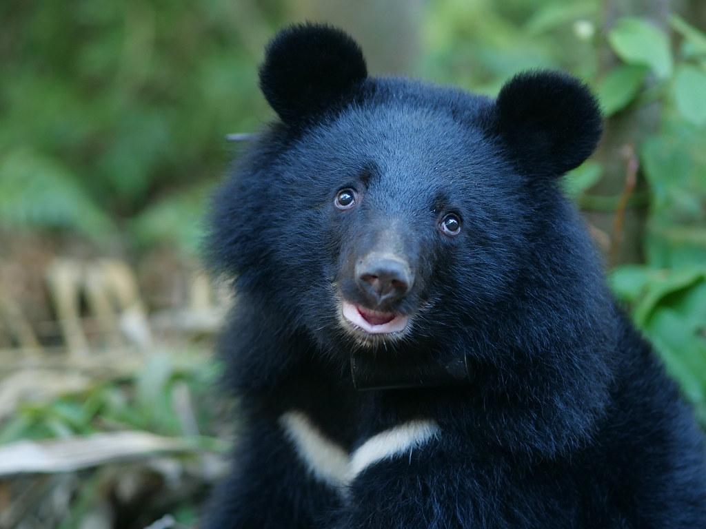 本照片取自台灣黑熊保育協會。