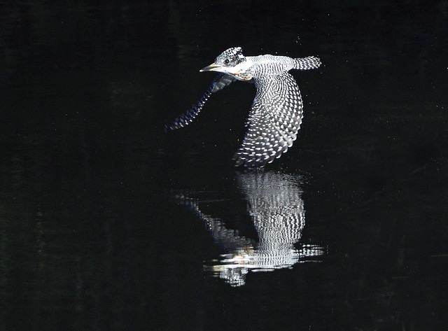 A crested kingfisher in flight - Explore