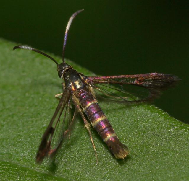 Wasp moth--at an angle