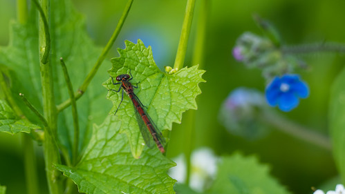 Large red damselflies, male