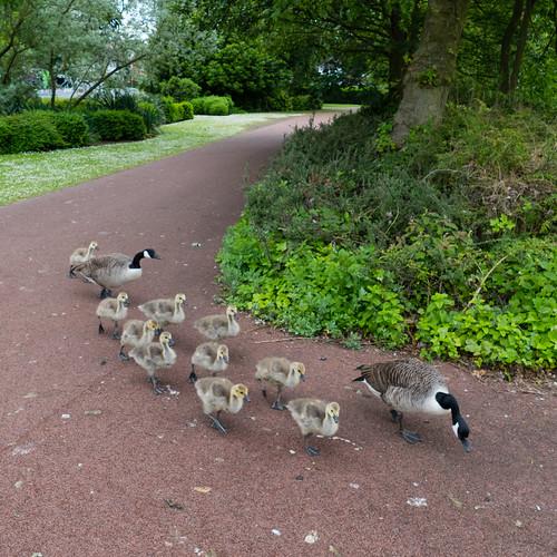 Gathering of goslings, West Park