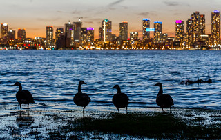 Avian tourists taking in the Toronto skyline