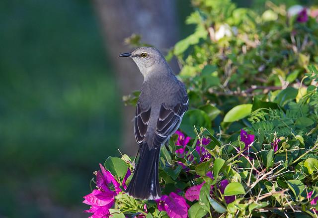 Northern mockingbird (Mimus polyglottos) - Playa Pesquero, Holguin, Holguín Province, Cuba - Feb 2019
