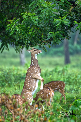 Spotted Deer trying to reach out for food