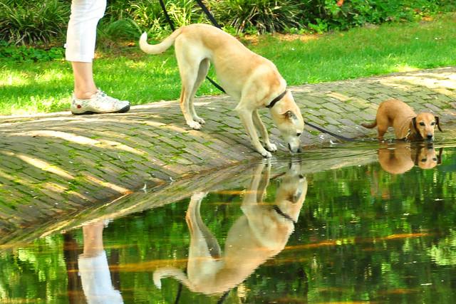 Juni 2019 ... Durstige Hunde machen sich bei 36 Grad über das kühle (?) Nass her ... Foto: Brigitte Stolle