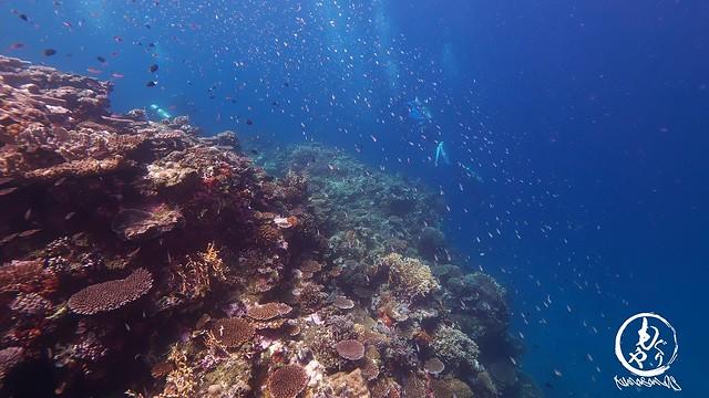 浅場のサンゴキレイゾーンにはオキナワスズメダイいっぱい♪