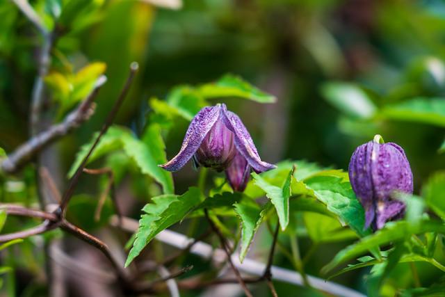 ミヤマハンショウズルが点々と咲く