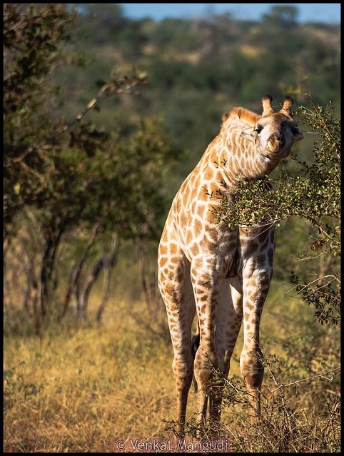 South African giraffe (Giraffa camelopardalis giraffa)