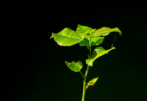 Young green leaves at black background. Moscow region, Russia              XOKA2877bs | by Phuketian.S