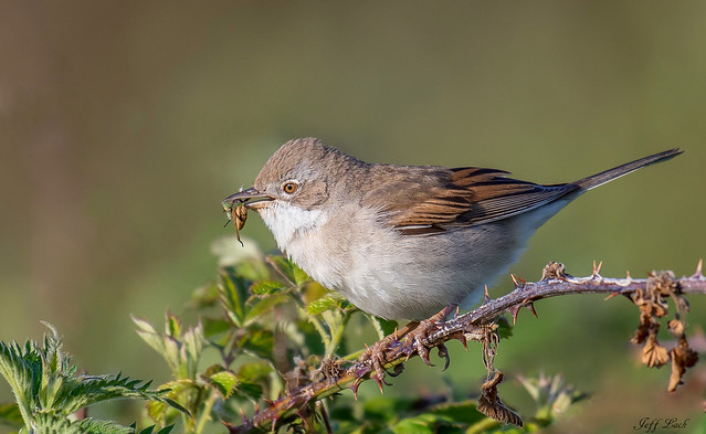 DSC7902  Whitethroat...