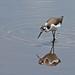Flickr photo 'Black-necked Stilt (Himantopus mexicanus)' by: Mary Keim.