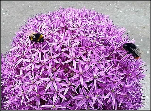 Ornamental Onion Plant ..