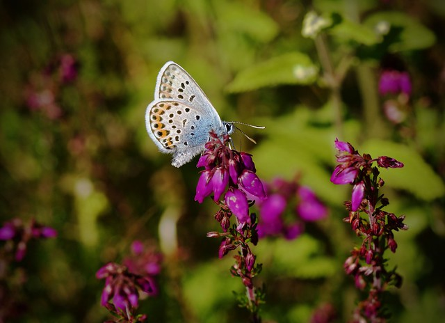 Silver-studded Blue (m)