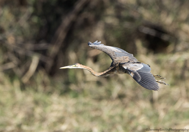 Purple Heron, Ardea purpurea, Msuna Fishing Resort, Zambezi River, Zimbabwe