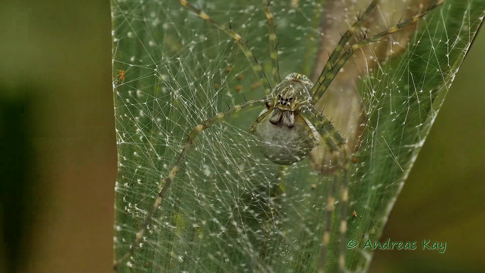 Nursery web spider, Thaumasia sp., Pisauridae