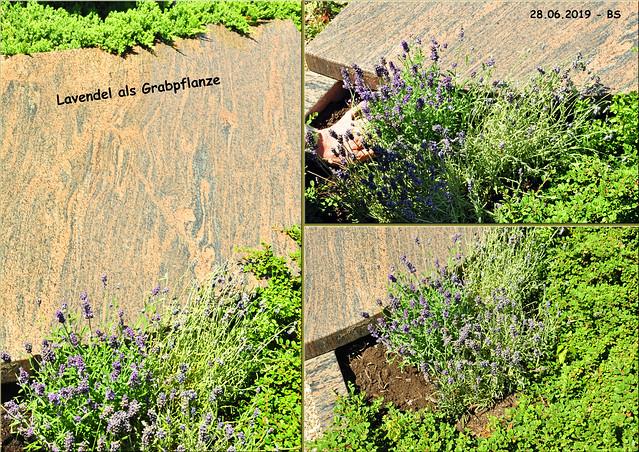 Schnittblumen für die Wohnung, Lavendel für Balkon und Grab ... Brigitte Stolle, Sommer 2019