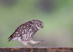 Little Owl Striding Out