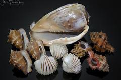 Cameroon seashells