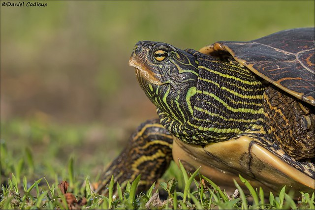 Northern Map Turtle.