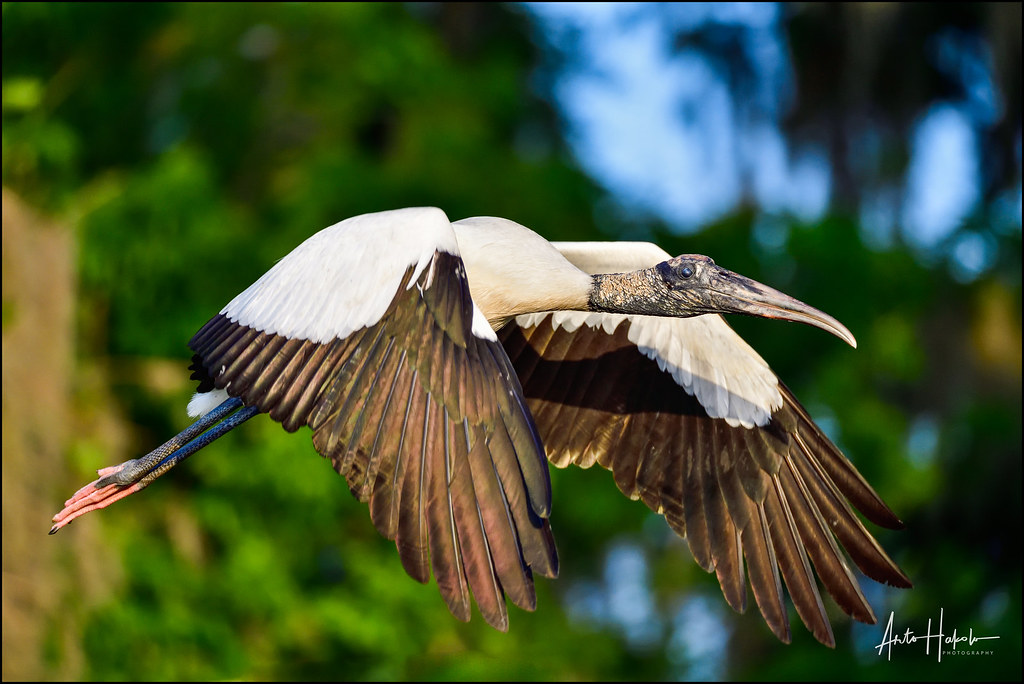Wood Stork flyby at first light.