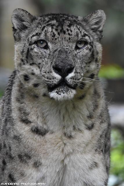 Snowleopard - Zoo Amneville