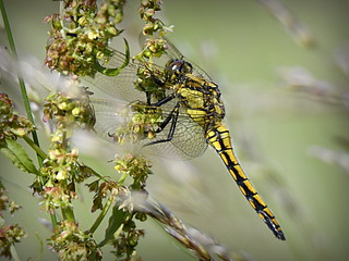 Black-tailed Skimmer, immature male Orthetrum cancellatum