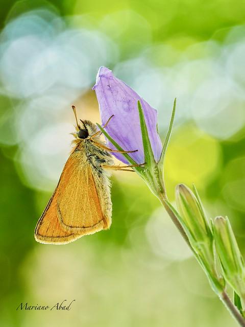 Mariposa dorada (Thymelicus sylvestris)