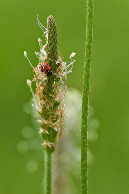 Adonis Ladybird on Ribwort Plantain
