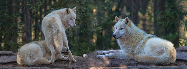 Hudson Bay Wolf - 18021904