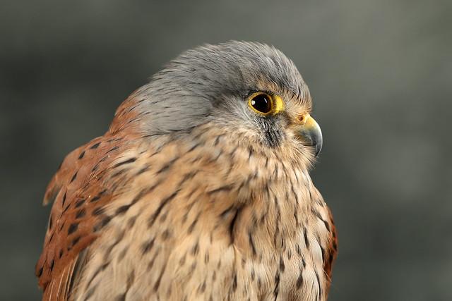 Common Kestrel ♂ Falco tinnunculus
