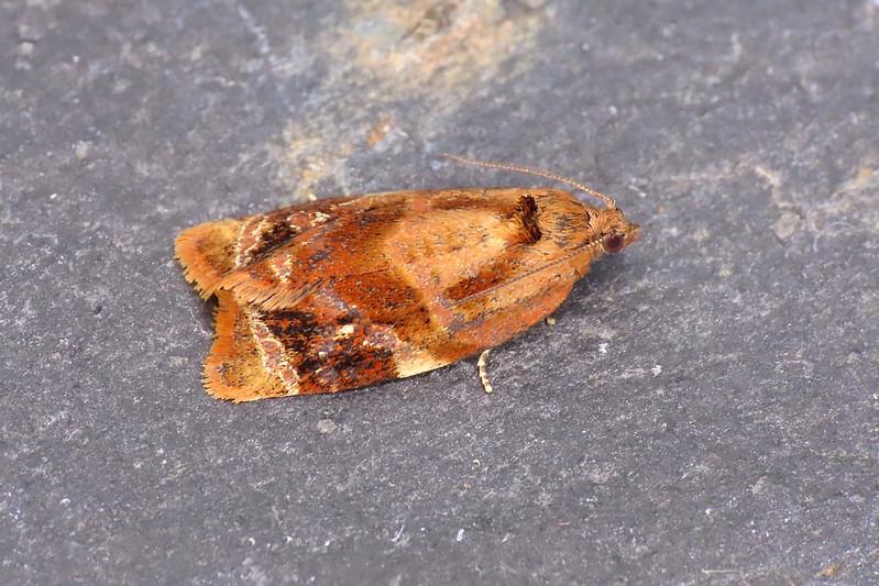 49.004 Red-barred Tortrix - Ditula angustiorana