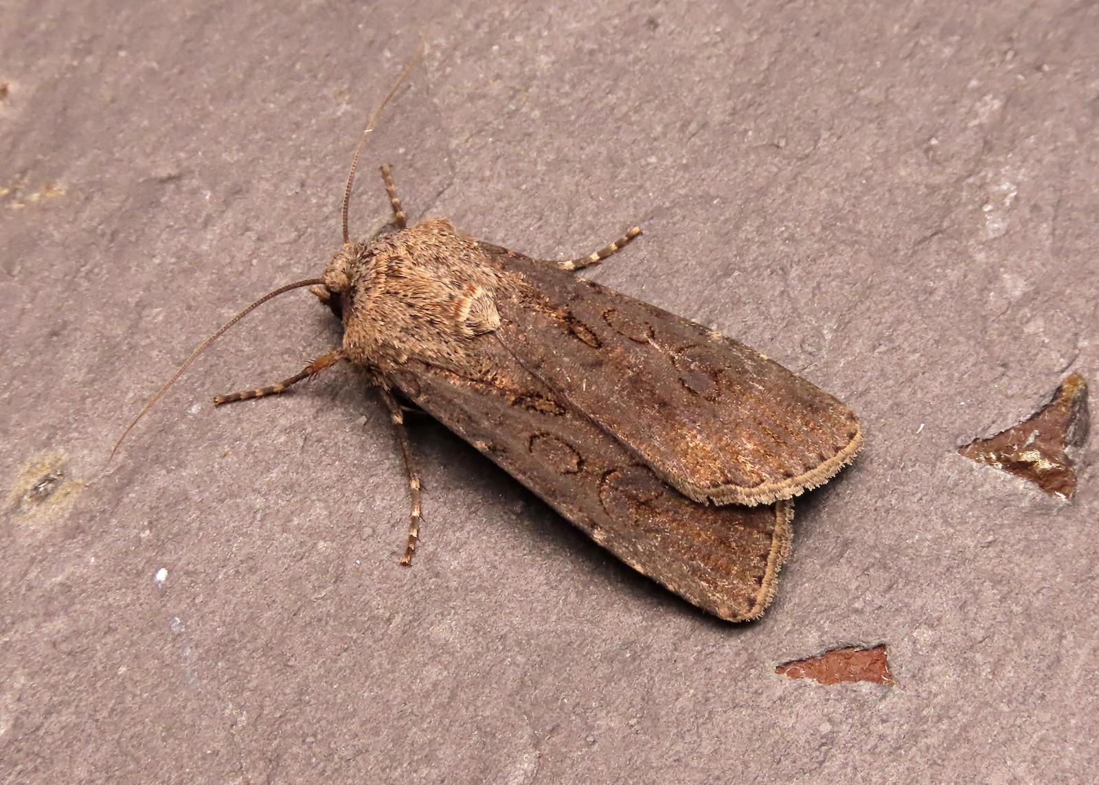 73.319 Turnip Moth - Agrotis segetum