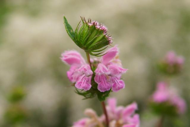 Огневик клубненосный / Phlomoides tuberosa