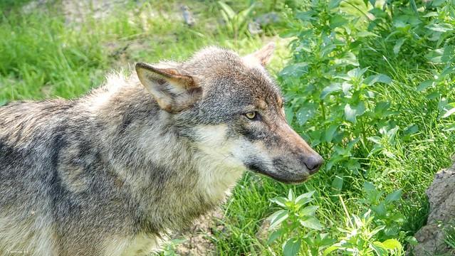 Wolf - 7001