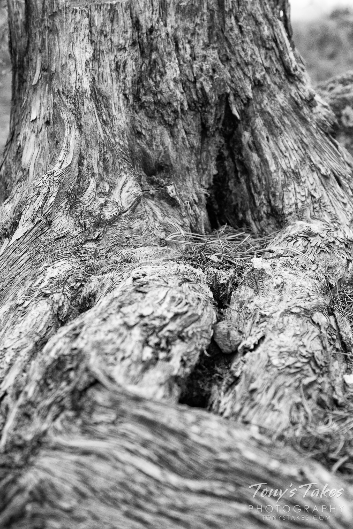 A gnarled old stump in the Colorado forest. (© Tony's Takes)