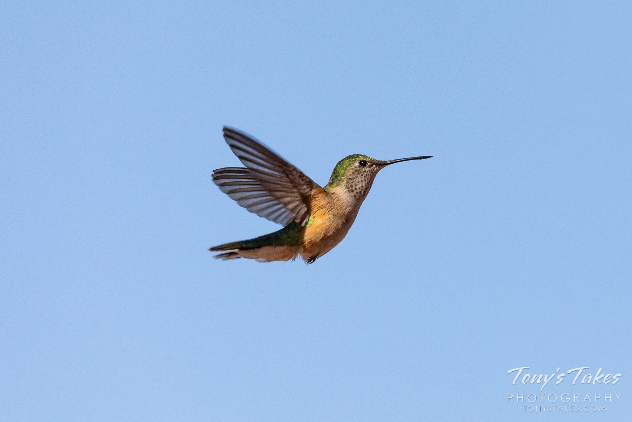 A hummingbird prepares to land at a feeder in the Colorado high country. (© Tony's Takes)