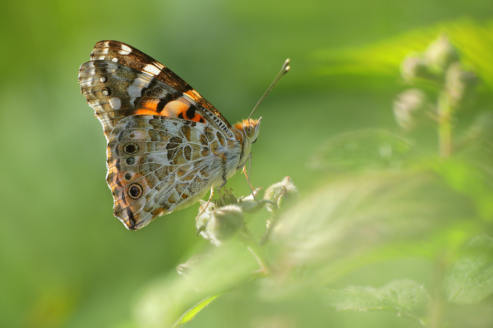 Painted Lady in Abbots Wood