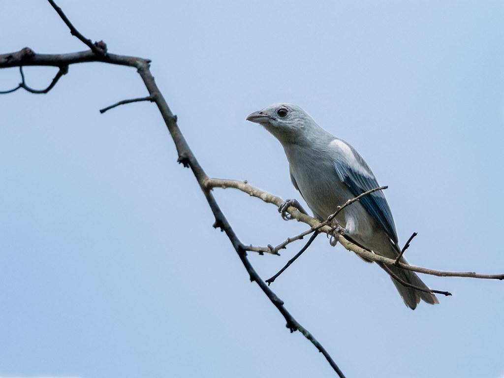 Blue-gray Tanager/Sanhaçu-da-amazônia/Tangara azuleja (Tangara episcopus)