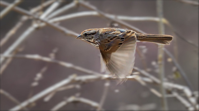 Bruant chanteur juvenile  ---------Song Sparrow ----------- Gorrión melódico