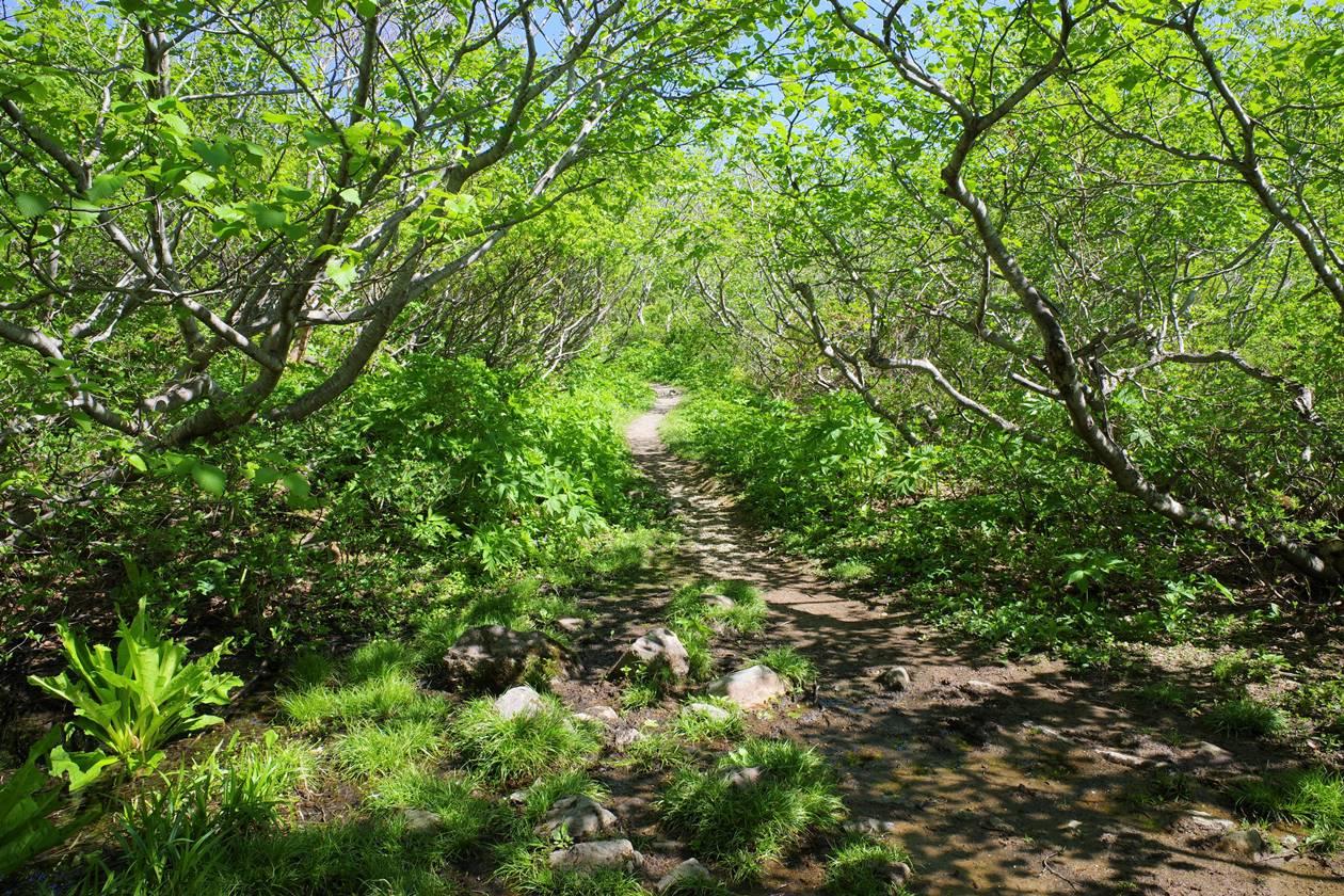 磐梯山 新緑のトンネル登山道