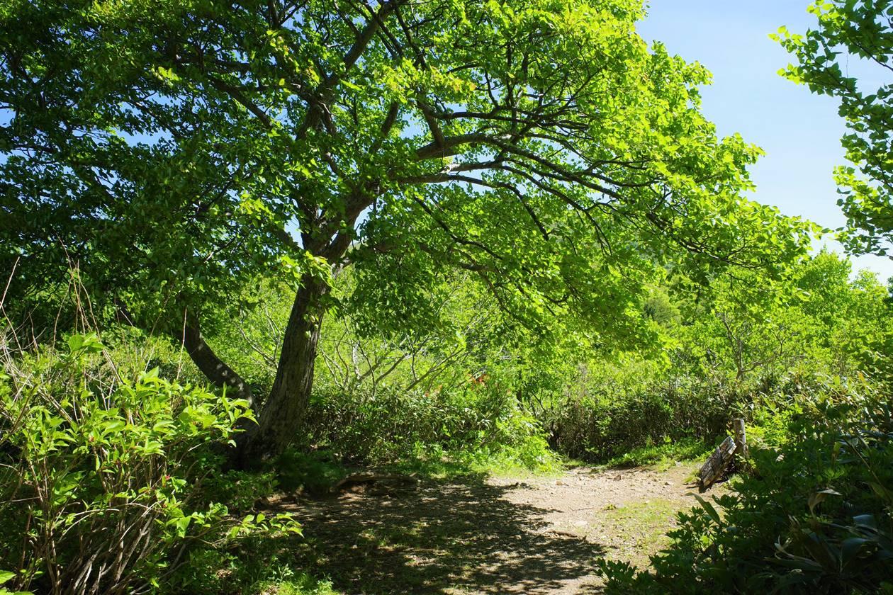 磐梯山 沼ノ平の一本の樹