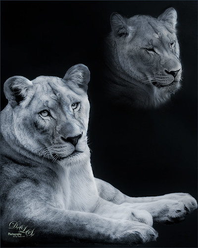 Two image of a lioness at the Jacksonville