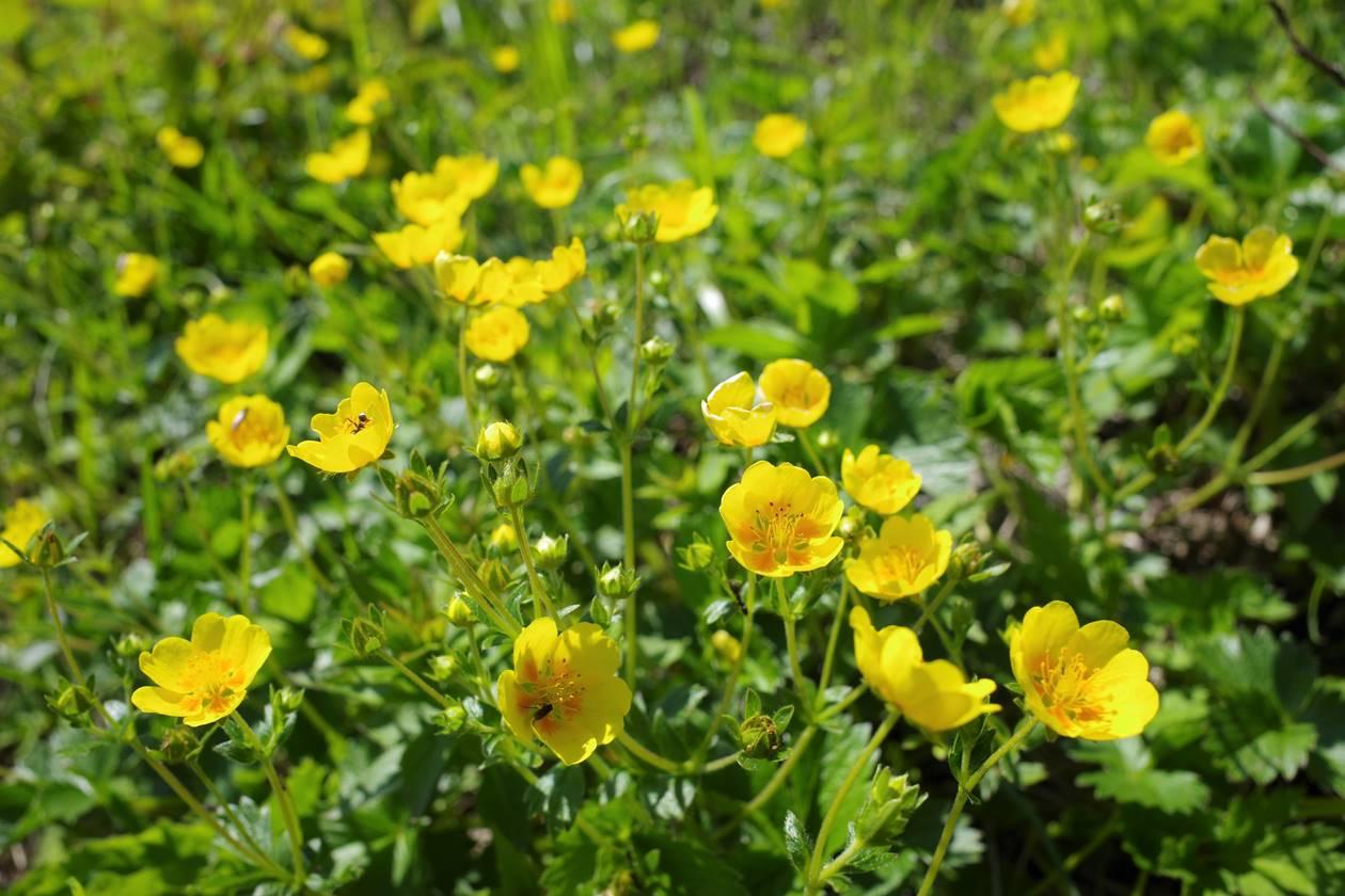 磐梯山 ミヤマキンバイのお花畑
