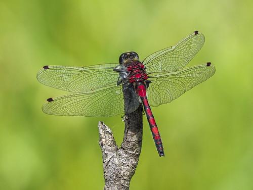 borealwhiteface leucorrhiniaborealis odonata anisoptera dragonfly insect male nearctic whitemudpark edmonton alberta canada animalplanet darter skimmer