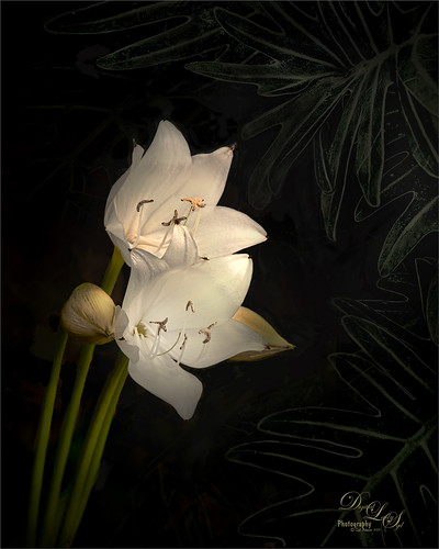 Image of white day lilies with some green leaves in the background