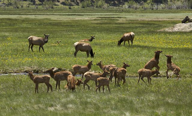 Day Care for Elk