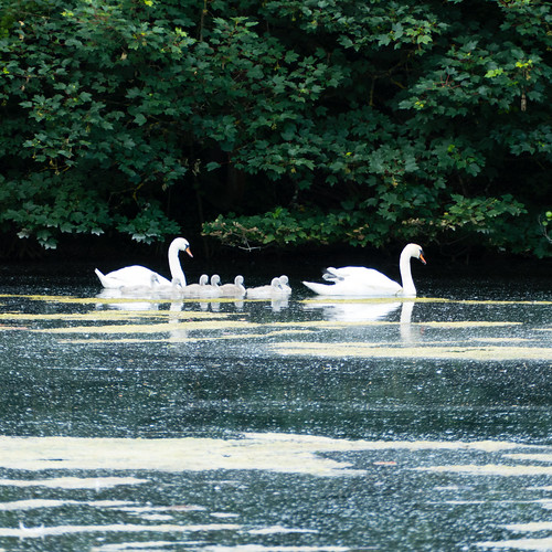 Swan family, Spring Pool, Baggeridge